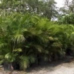 Areca Palms 25 Gal.