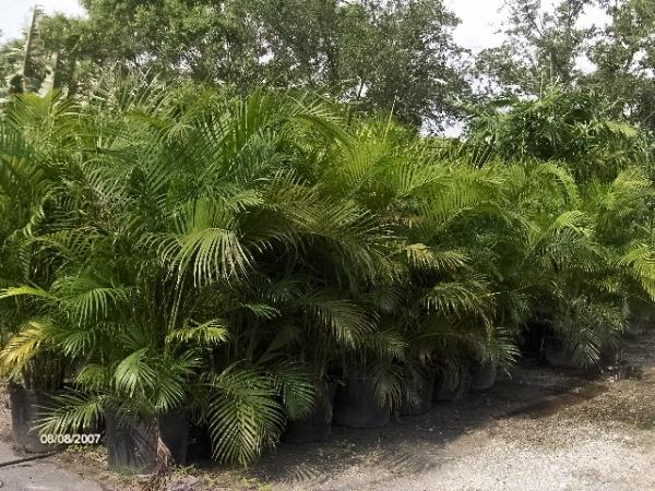 Areca palm tree galleryhip com the hippest galleries