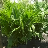 Chinese Fan Palms, 3 Gal.
