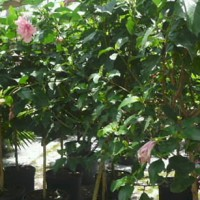 Hibiscus Tree Standard 15 Gal.