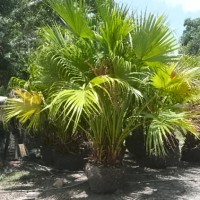 Chinese Fan Palms