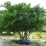Ligustrum Multi-stemmed