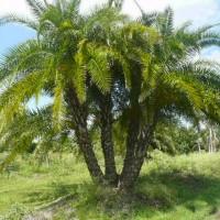 Reclinata Palm