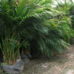 Cat Palms