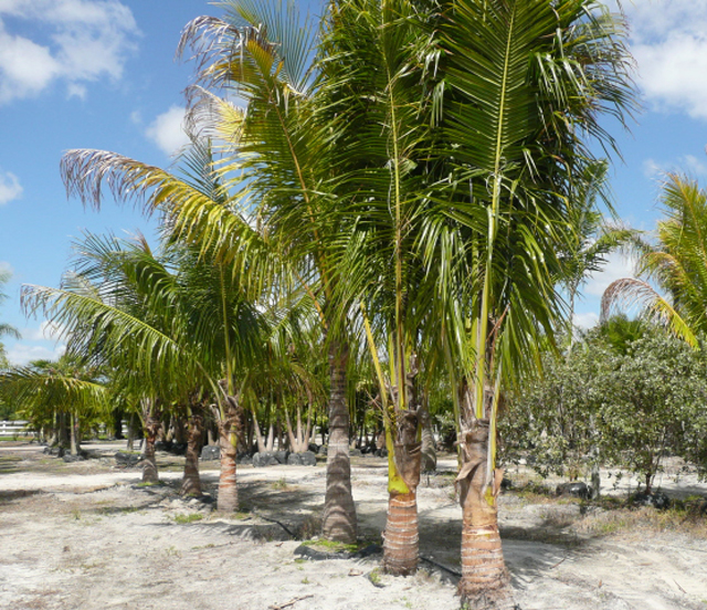 how to grow a coconut palm