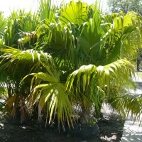 Florida Thatch Palm