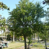 Mature Live Oak Trees