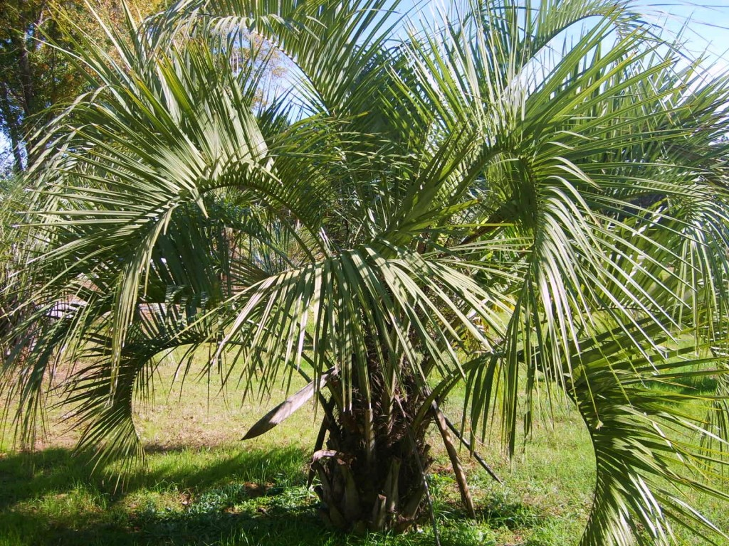 Small Palm Tree Types Pindo palms