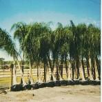 Queen Palms