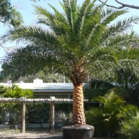Sylvestris Palm