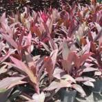 Ti Plant Xerox