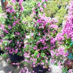 Bougainvillea Trellis, Purple
