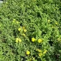 Lantana, Yellow