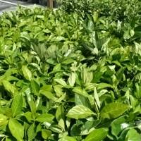 Mirror Leaf Viburnum
